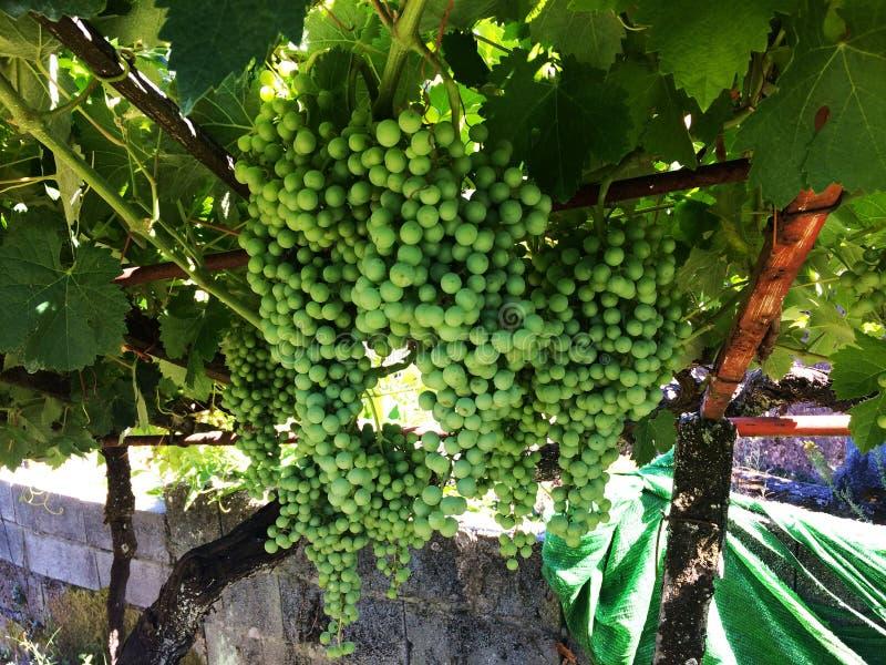 groene druiveninstallatie royalty-vrije stock afbeelding