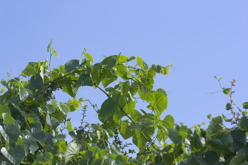 Groene druiventakken over de blauwe hemel royalty-vrije stock fotografie