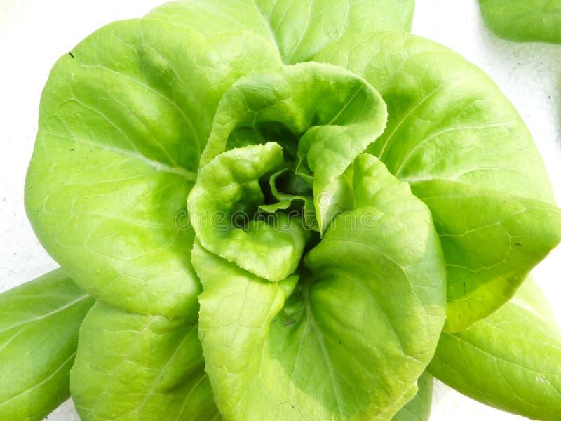 Groene eik stock afbeelding