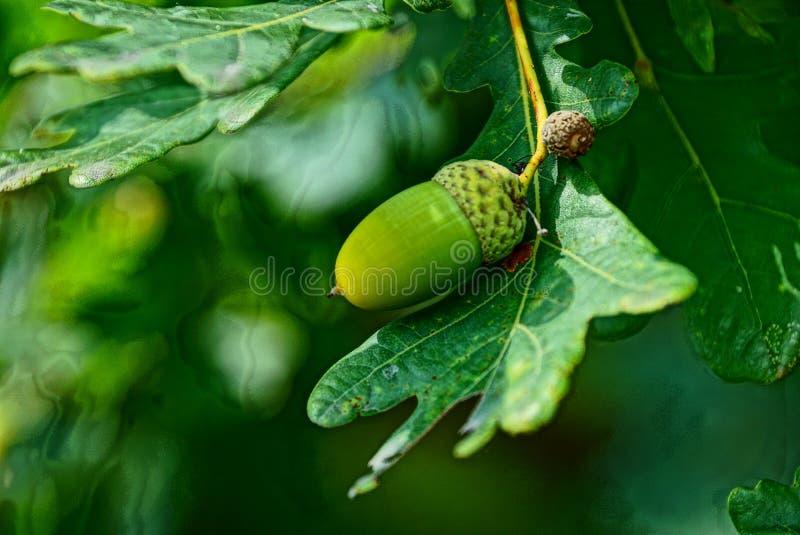 Groene eikel op een eiken blad in het bos stock afbeelding