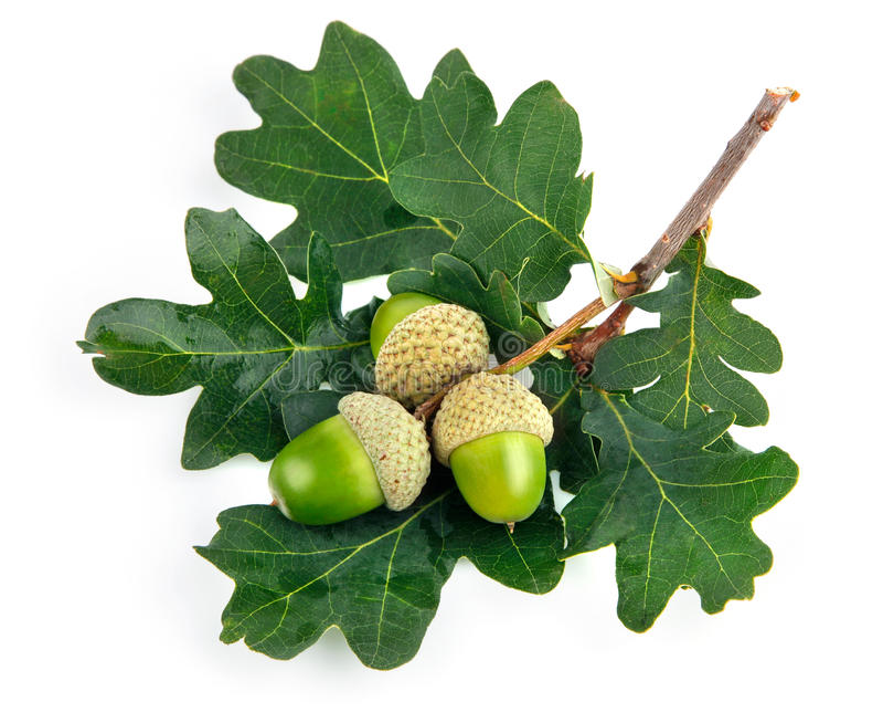 Groene eikelvruchten met bladeren stock fotografie