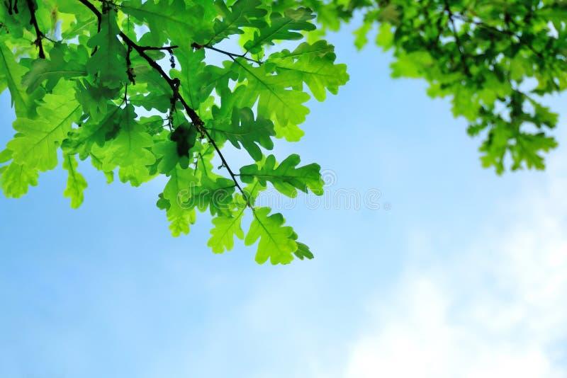 Groene eiken bladeren royalty-vrije stock fotografie