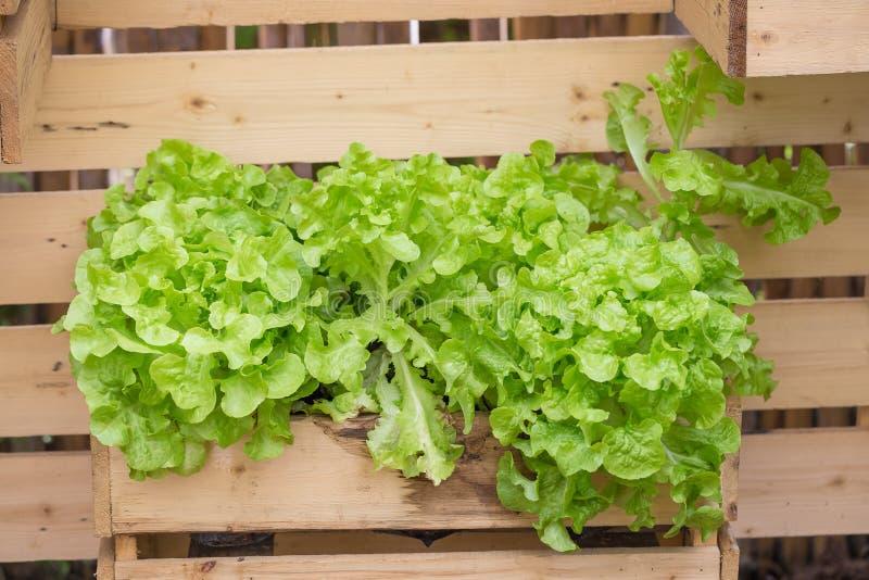 Groene eiken frilliceijsberg in de markt van de landbouwbedrijfinstallatie stock afbeelding