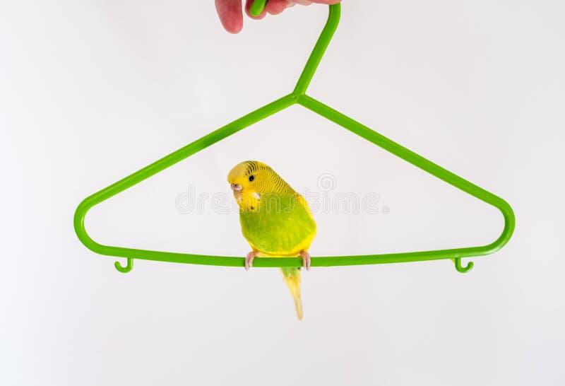 Groene en gele grasparkietzitting op een groene kleerhanger royalty-vrije stock afbeeldingen