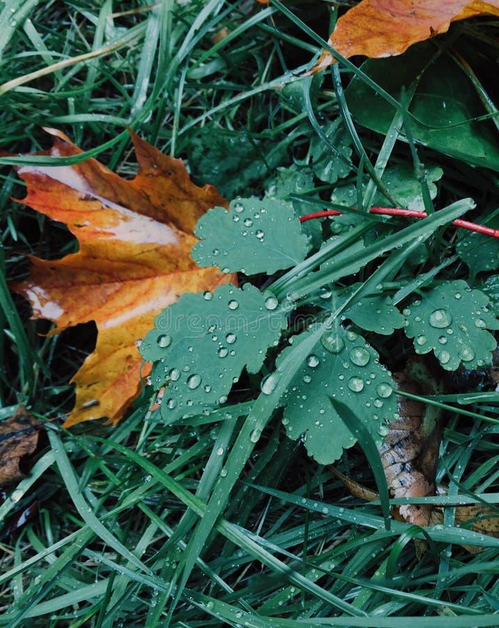 Groene en gele kleuren De herfstbladeren op groen gras met dauw Oktober-tijd Verticaal schot Mooi seizoen Het concept van de aard stock afbeeldingen