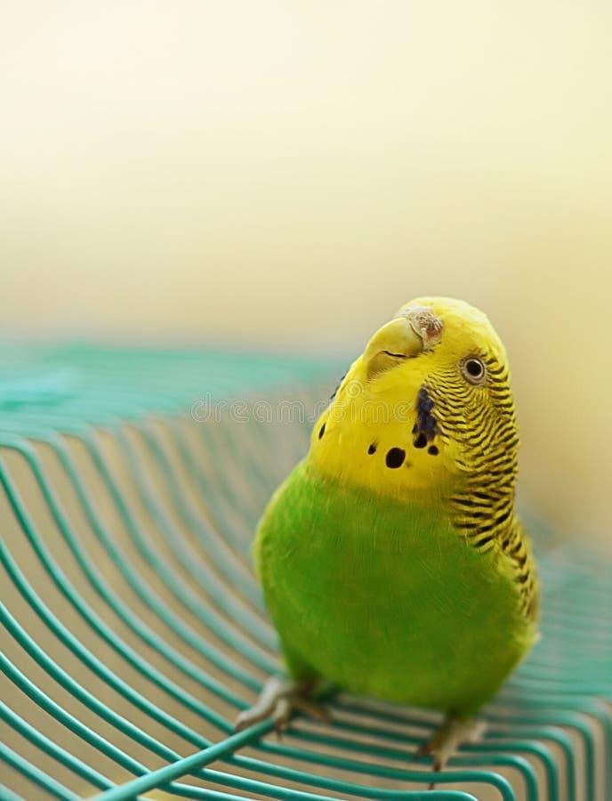 Groene en Gele Vrouwelijke Budgie die merkwaardig Upwards kijken stock afbeelding