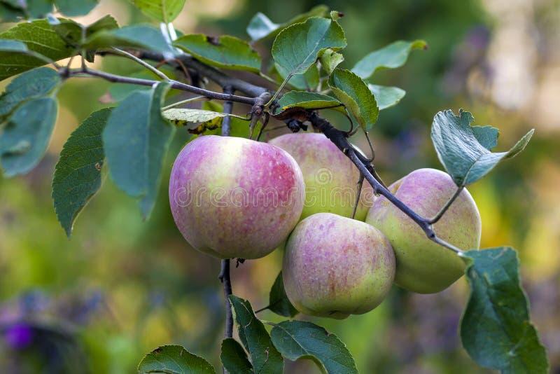 Groene en rode appelen die op de boom groeien stock afbeelding