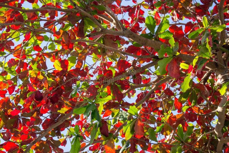 Groene en rode bladeren op blauwe hemelachtergrond Kleurrijk boomgebladerte De aard van de herfst Lange schaduwen en blauwe hemel stock foto's