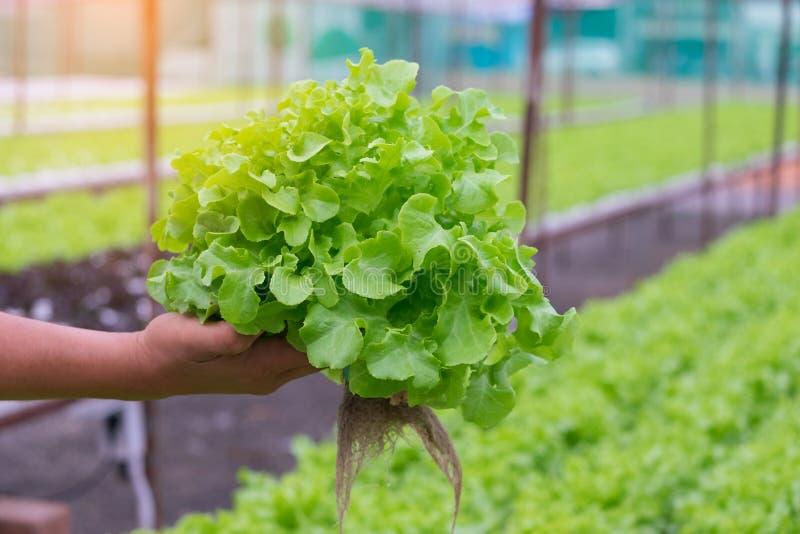 Groene en rode eik, frilliceijsberg, cultuur hydroponic groene groente stock foto's