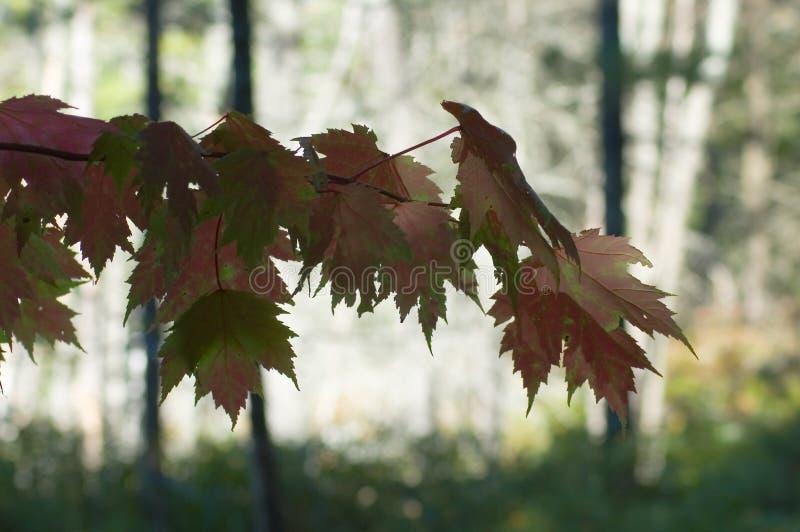 Groene en rode esdoornbladeren royalty-vrije stock fotografie
