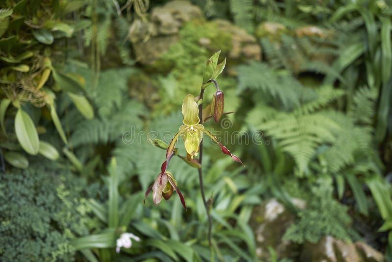Groene en rode orchidee stock foto's