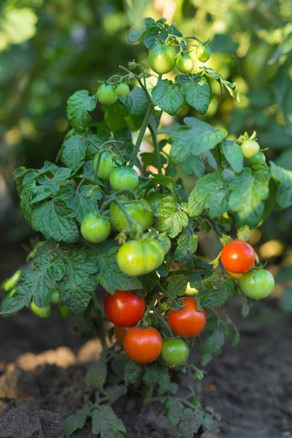 Groene en rode tomaten in het tuin in openlucht close-up stock fotografie
