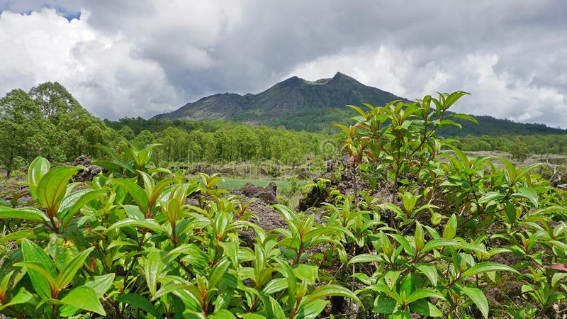 Groene en verse mening van Onderstel Batur, Kintamani, Bali, Indonesië, in regenachtig seizoen stock foto