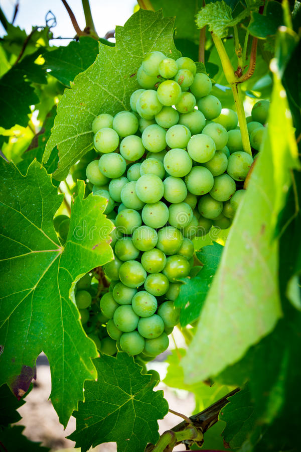 Groene en verse wijndruif royalty-vrije stock foto