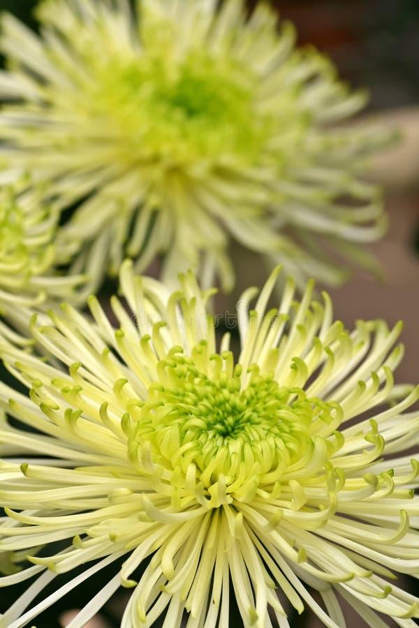 Groene en Witte Dahlia royalty-vrije stock fotografie