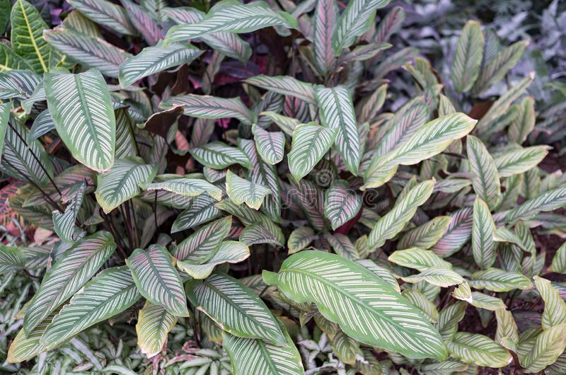 Groene en witte gestreepte Calathea-ornata met jonge purpere gekleurde bladeren royalty-vrije stock afbeeldingen