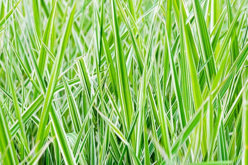 Groene en Witte Phalaris Arundinacea stock afbeeldingen