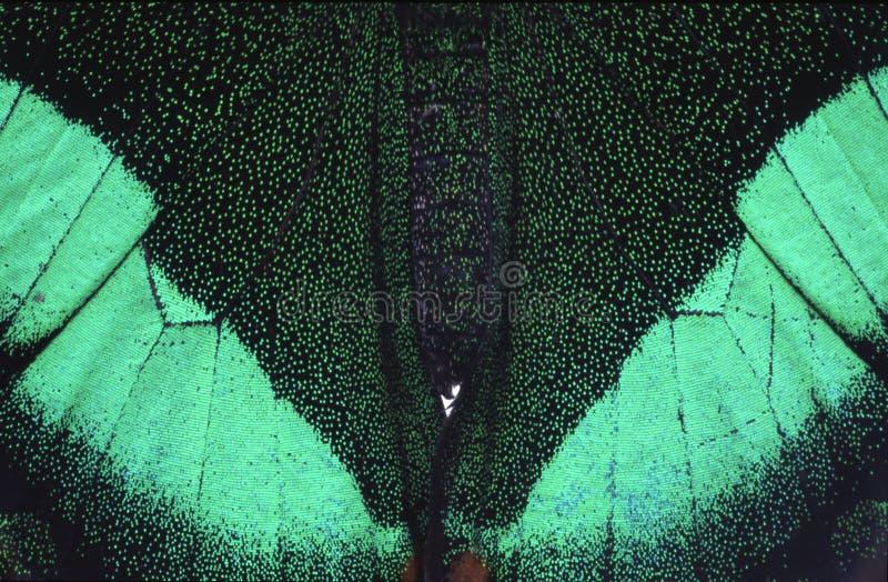 Groene en zwarte vlinder stock afbeelding