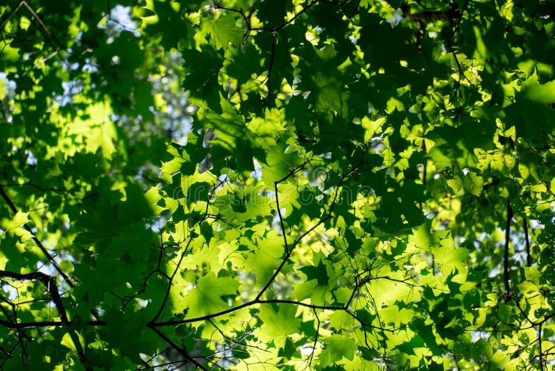 Groene esdoornbladeren in het bos royalty-vrije stock afbeeldingen