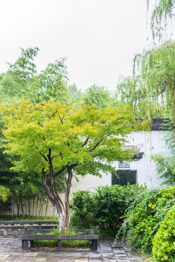 Groene Esdoornboom na de regen stock foto's
