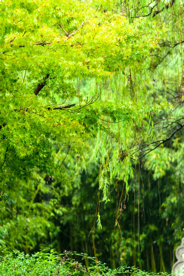 Groene Esdoornboom in regen stock fotografie