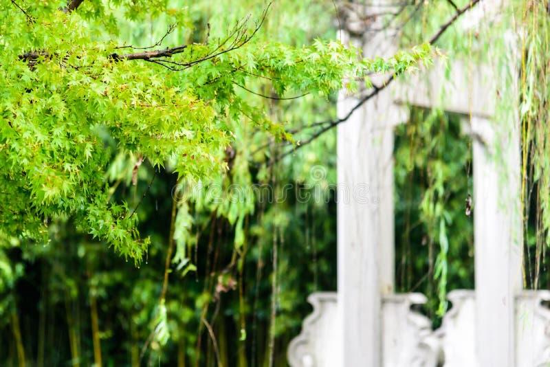 Groene Esdoornboom in regen royalty-vrije stock fotografie