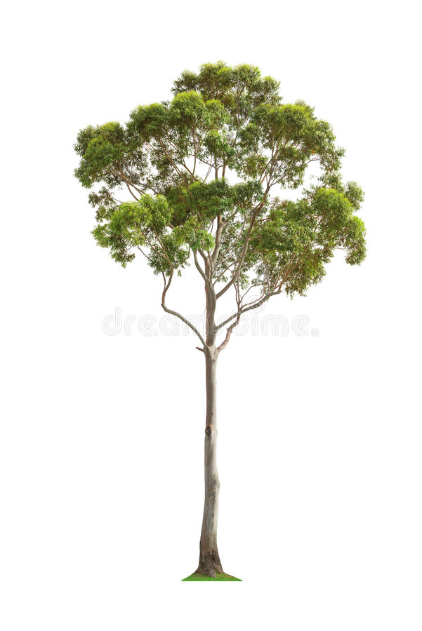 Groene eucalyptusboom royalty-vrije stock fotografie