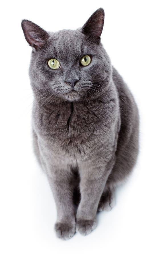 Groene eyed Maltese die kat ook als het Britse Blauw wordt bekend stock foto's
