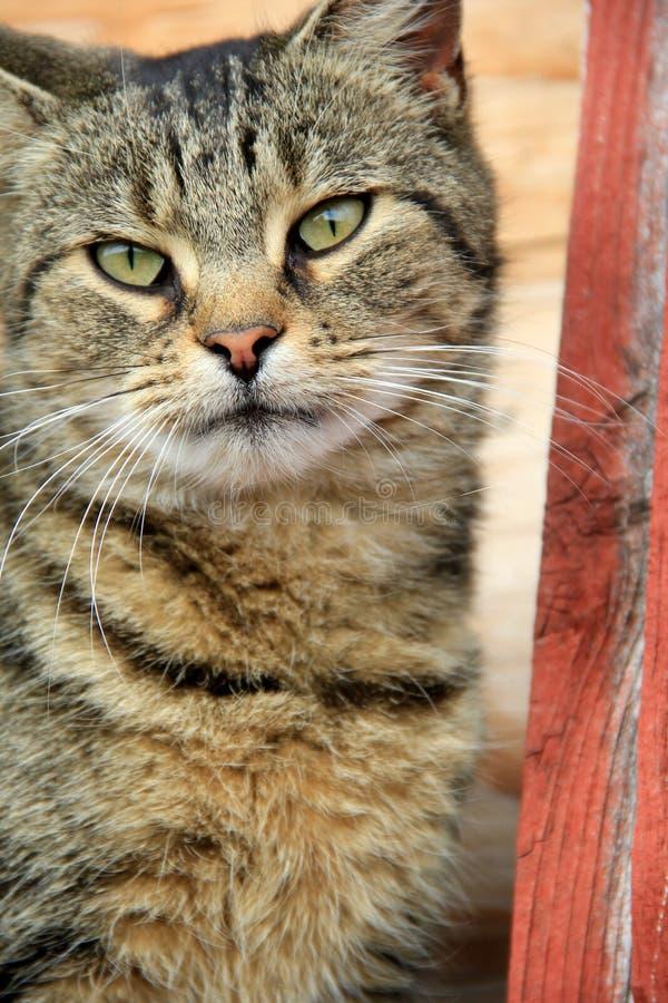 Groene eyed tijgerkat stock afbeelding