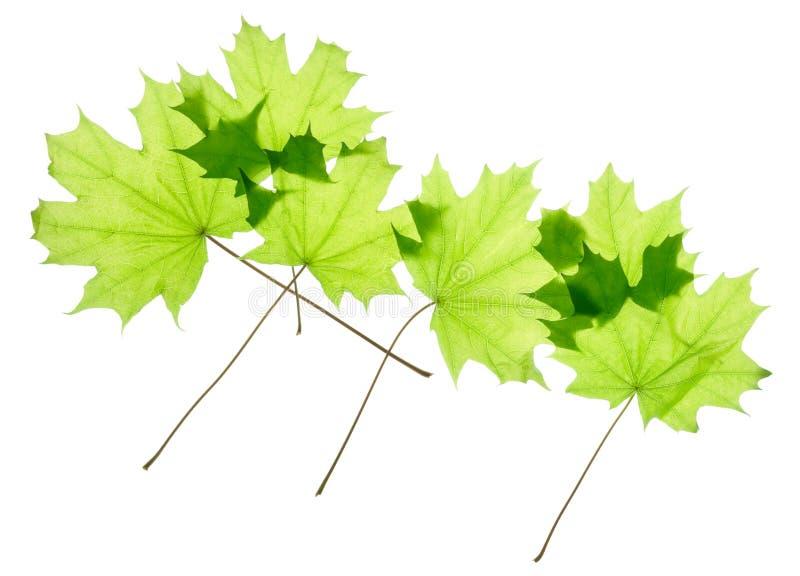 Groene geïsoleerde esdoornbladeren royalty-vrije stock foto