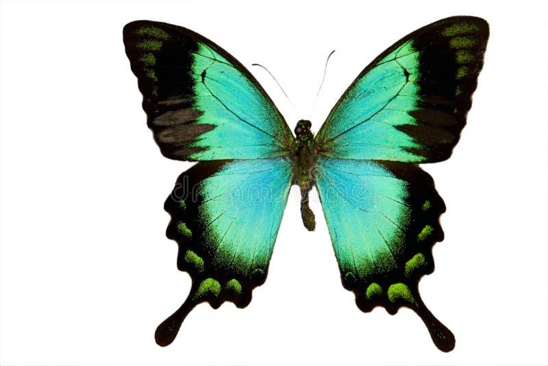 Groene geïsoleerdei Vlinder royalty-vrije stock afbeelding