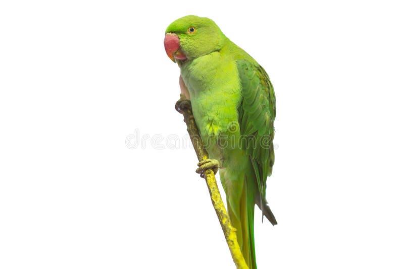 Groene geïsoleerder papegaai royalty-vrije stock afbeelding
