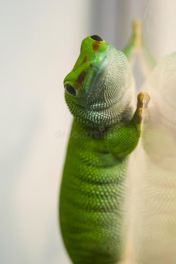 Groene gekko op het glas Gekkohagedis stock foto's