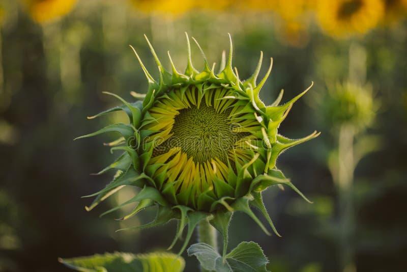 Groene gesloten zonnebloem De textuur en de achtergrond van de knopzonnebloem voor ontwerpers De achtergrond van het zonnebloemen stock afbeeldingen