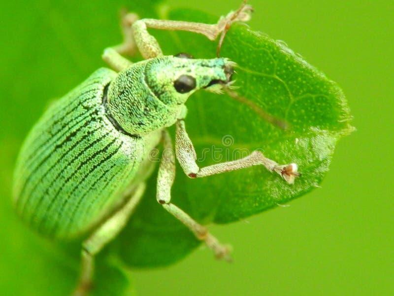 Groene graanklander royalty-vrije stock afbeelding