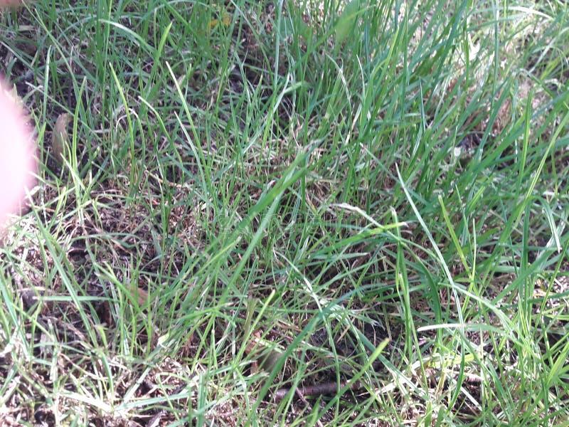 Groene gras stock fotografie