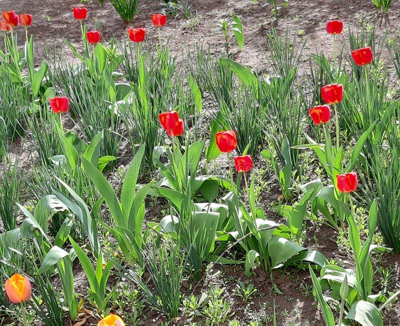 Groene gras en bloementulpen De achtergrond van de lente Aardbehang royalty-vrije stock afbeeldingen