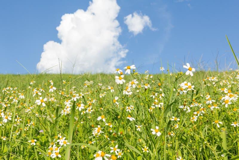 Groene gras en Margrieten stock afbeelding