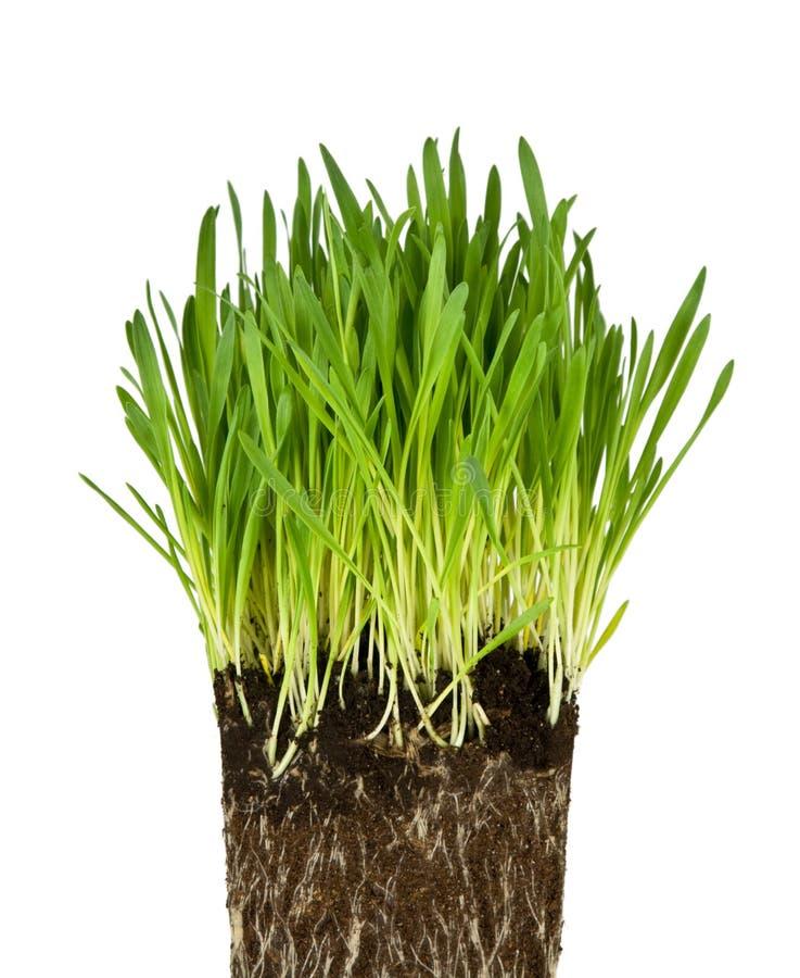 Groene gras en wortels royalty-vrije stock foto's