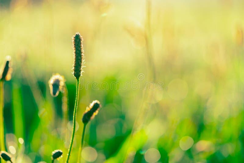 Groene grasbloem in de vroege ochtend in tuin met zonneschijn Groen grasgebied met bokehachtergrond in lentetijd stock fotografie