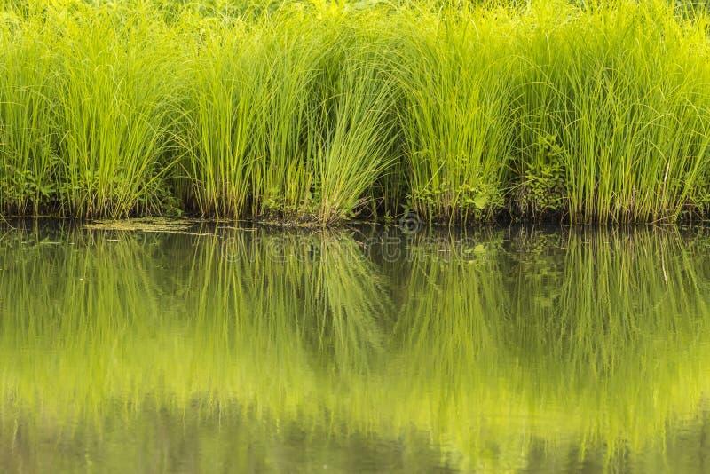Groene grassen stock afbeeldingen