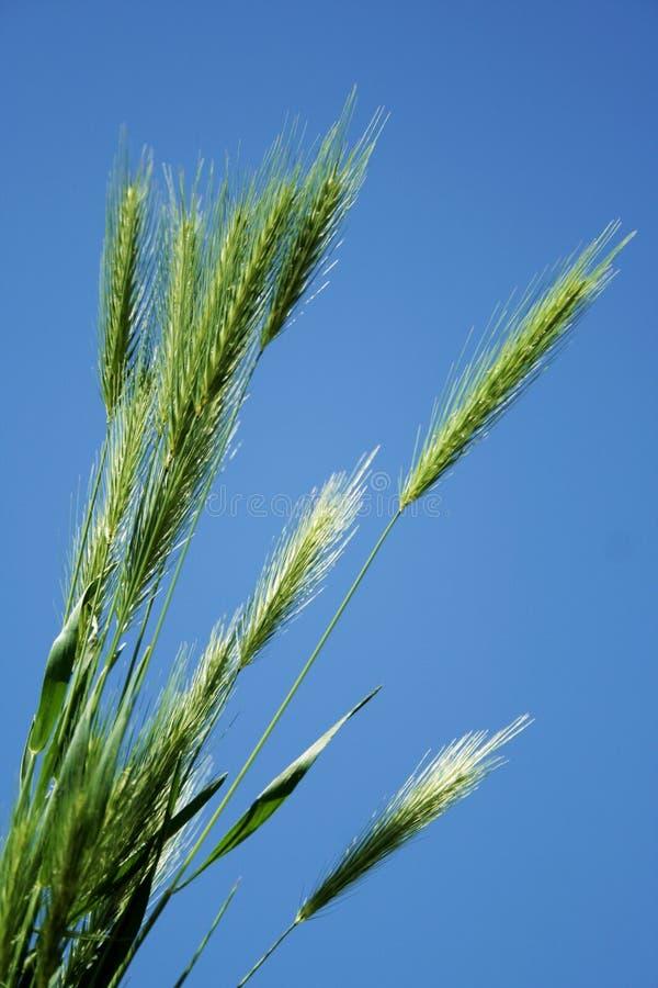 Groene grassprietjes royalty-vrije stock foto