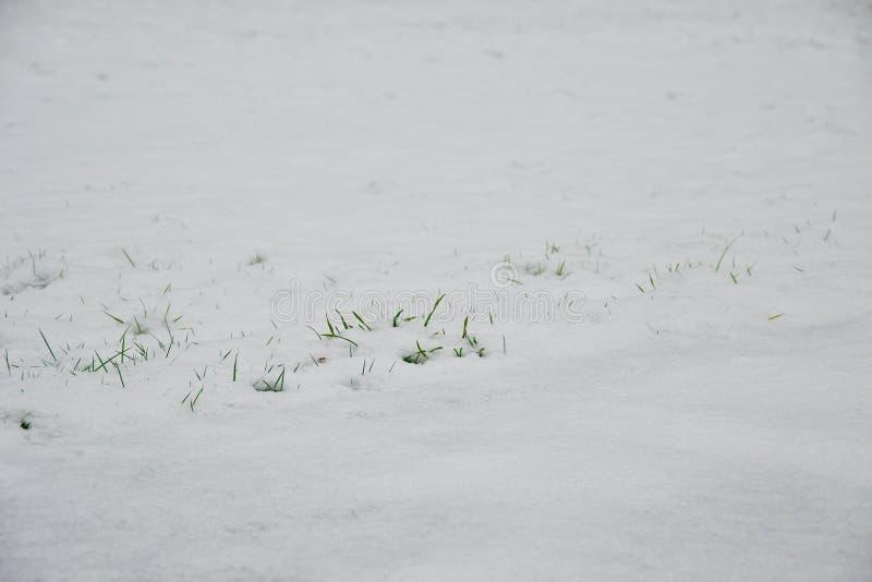 Groene grassprietjes die door sneeuw porren royalty-vrije stock foto's