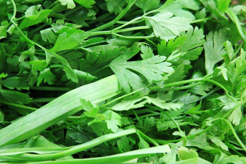 Groene groentendille en peterselie stock afbeeldingen
