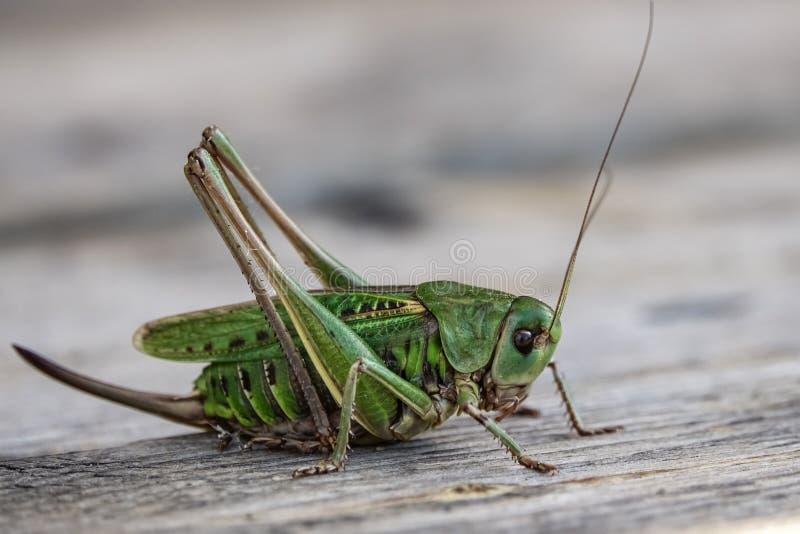 Groene grote wrat-Biter Decticus-verrucivorus Bush-veenmol stock foto's