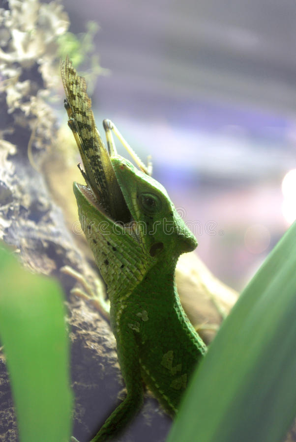 Groene hagedis die een sprinkhaan eet stock afbeeldingen