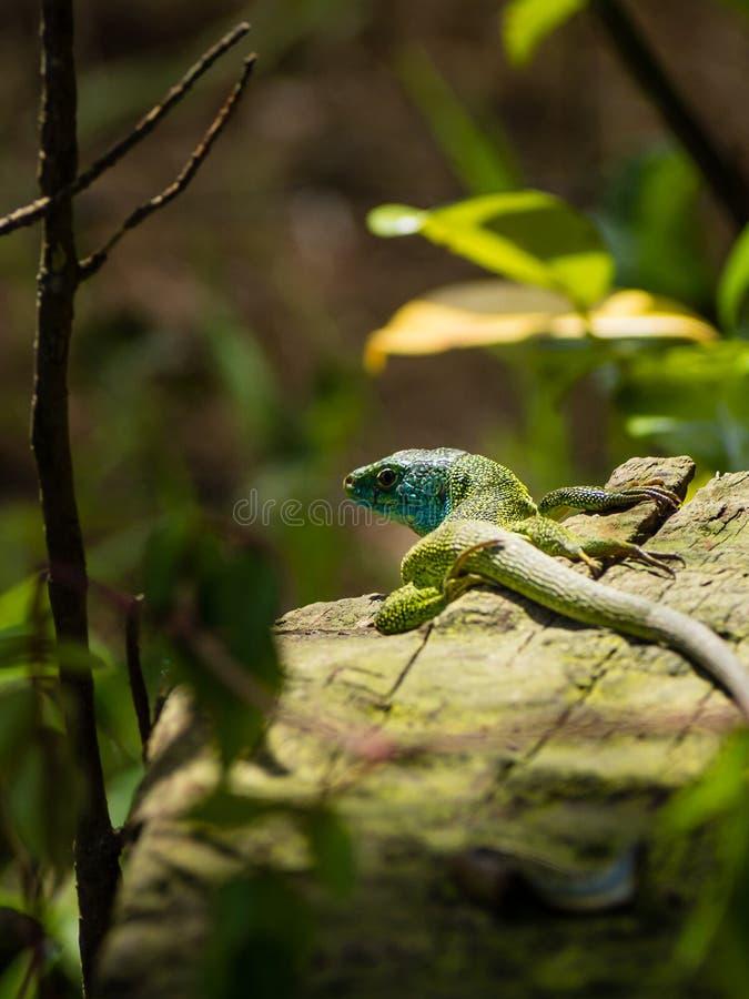 Groene hagedis of Lacerta Viridis die op een logboek zonnen royalty-vrije stock foto