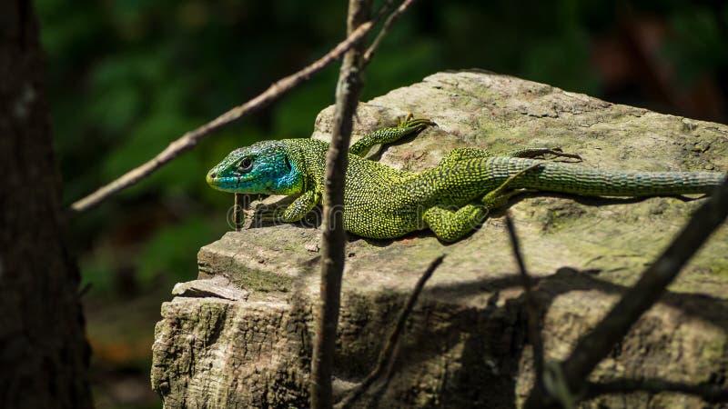 Groene hagedis of Lacerta Viridis die op een logboek zonnen royalty-vrije stock fotografie