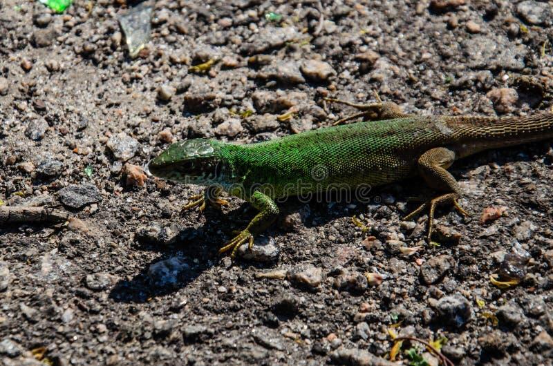 Groene hagedis op een grond royalty-vrije stock fotografie