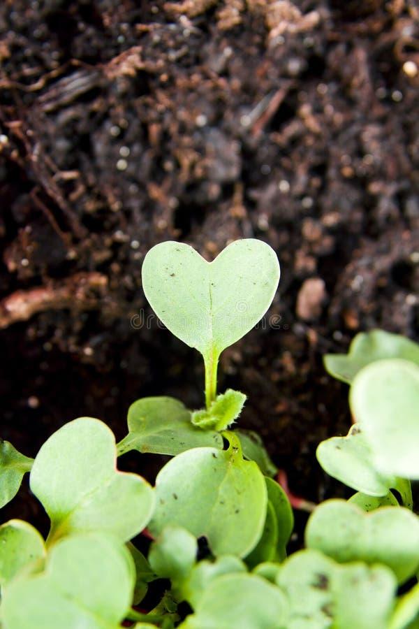Groene hartinstallatie die in tuin ontspruiten royalty-vrije stock afbeelding